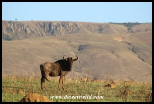 Blue wildebeest like open terrain