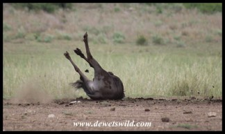 Blue wildebeest love rolling in mud or dung