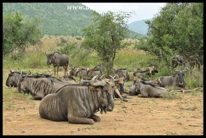 Blue wildebeest at rest after a stormy night