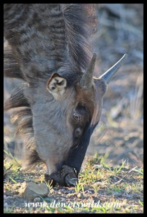 "Blue wildebeest ""teenager"""