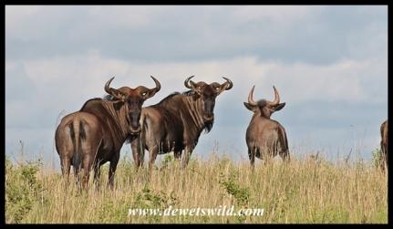 Blue wildebeest are curious creatures