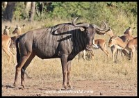 Blue wildebeest often associate with other animals