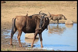 Blue wildebeest too nervous to drink