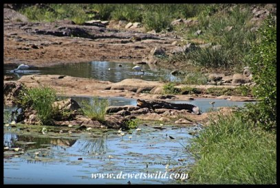 Crocodile lazing on a rock in the Vurhami stream