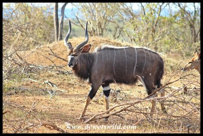 Nyala along the Sabie