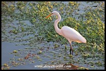 Great white egret in the Sabie