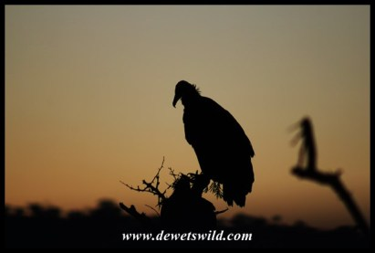Hooded Vulture silhouette
