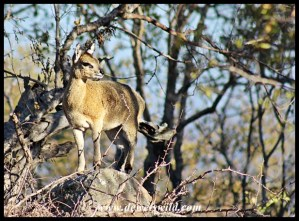 Klipspringer ewe on Nkumbe Mountain