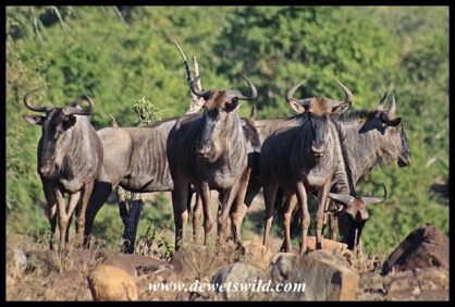 Blue wildebeests near Tshokwane
