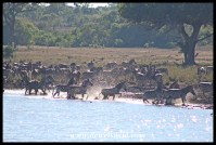 Huge herd of nervous zebra at Mazithi Dam