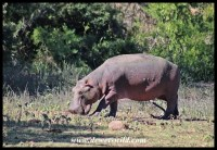 Young hippo looking for something to eat