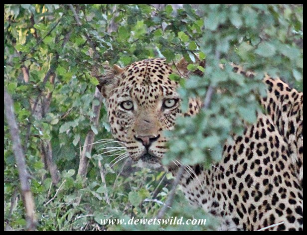 Leopard seen near Olifants