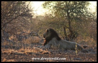 Watchful lion near Olifants