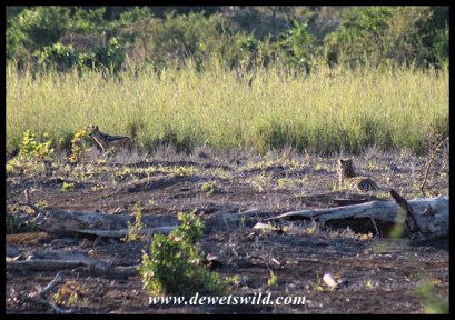Leopard hunting jackals