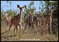Kudu herd on the move