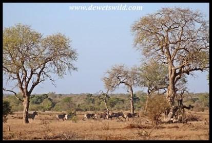 Zebras and marulas outside Satara