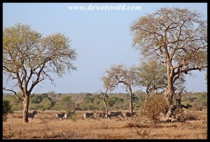 Zebras and marulas outside Satara