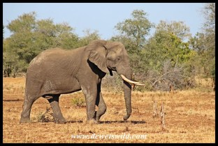 Elephant bull on the way to Orpen