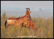 Red Hartebeest in grassland at Rietvlei Nature Reserve