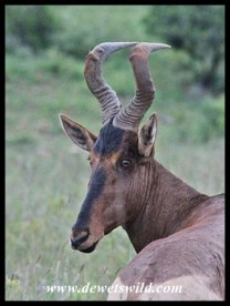 Red Hartebeest Bull