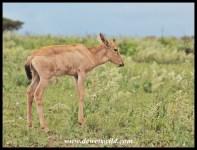 Red Hartebeest calf