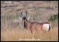 Red Hartebeest in the open grassland of Golden Gate Highlands National Park