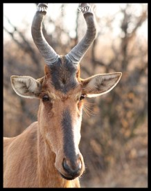 Red Hartebeest Cow