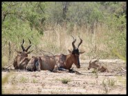 Red Hartebeest cow and calf