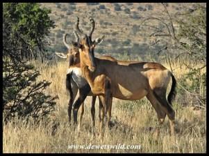 Red Hartebeest in arid grasslands at Mountain Zebra National Park