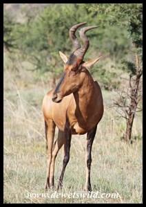Dominant Red Hartebeest bull