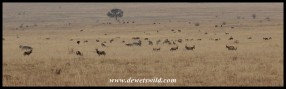 Herd of Blesbok