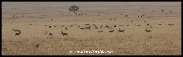 Herd of Blesbok