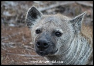 Spotted hyena close-up