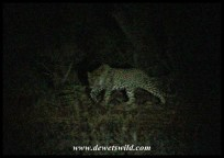 Leopard seen along Satara's fence