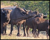 Getting irritated by the oxpeckers