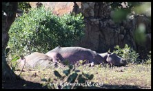 Hippos lying out in the open veld - a first for us