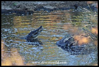 Crocodile feeding on hippo carcass in the Nwanetsi River near Satara