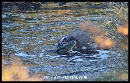 Crocodile feeding on hippo carcass in the Nwanetsi River near Satara
