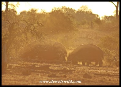Hippos setting off at dusk in search of grazing