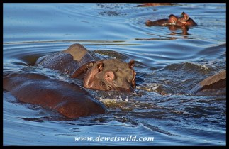 The normal view of hippos, lazing in a pool of water on the Sweni River
