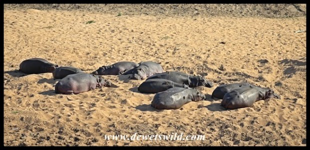 Hippos lazing on a sandbank in the Nwaswitsontso River