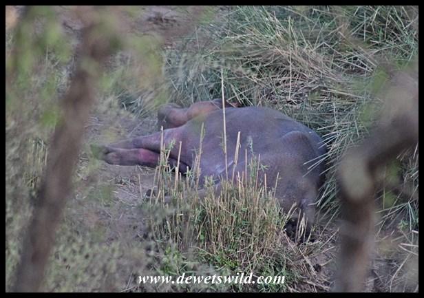 Drought Hippos (19)