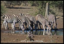 Artificial waterholes providing relief to thirsty zebras