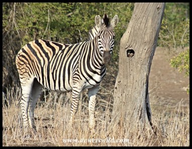 Despite the denuded vegetation, most of the zebras were still in good condition