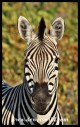 Flirtatious Plains Zebra