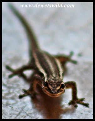 Common Dwarf Gecko - Just look at that smile!