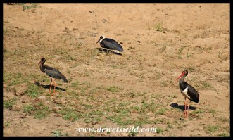 Black and Woolly-necked Storks