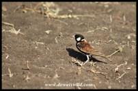 Chestnut-backed Sparrowlark