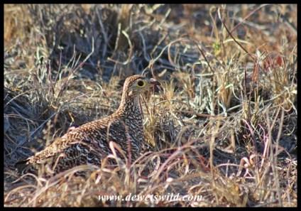 Double-Banded Sandgrouse female