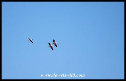 Great White Pelicans in flight over Mopani